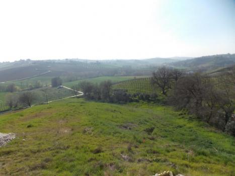 Панорама оливковой рощи